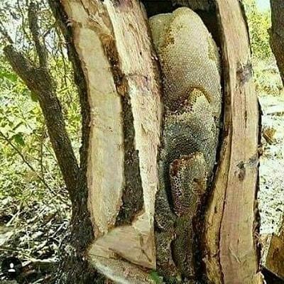 عسل درختی و کاملا ارگانیک کردستان