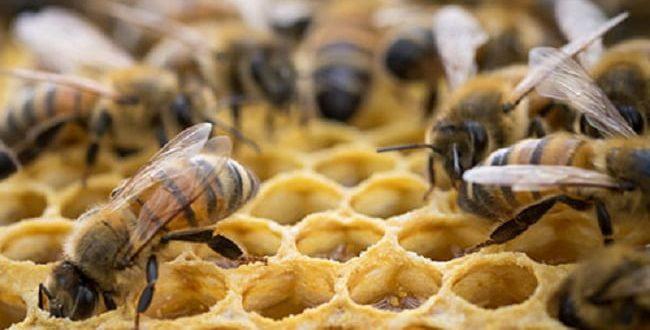 نقش بره موم در سلامتی کلنی زنبور عسل