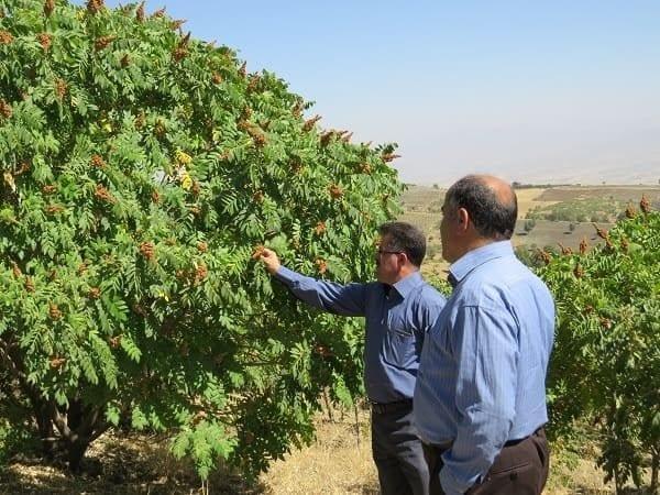 قیمت سماق قهوه ای کردستان