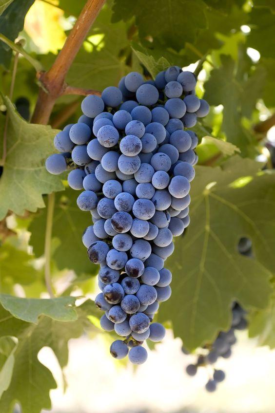 قیمت انگور سیاه سردشت و کردستان