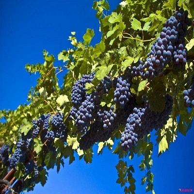فروش مستقیم انگور سیاه سردشت