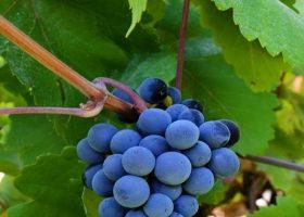 خواص انگور سیاه: ۲۰ فایده شگفت انگیز انگور سیاه برای سلامتی