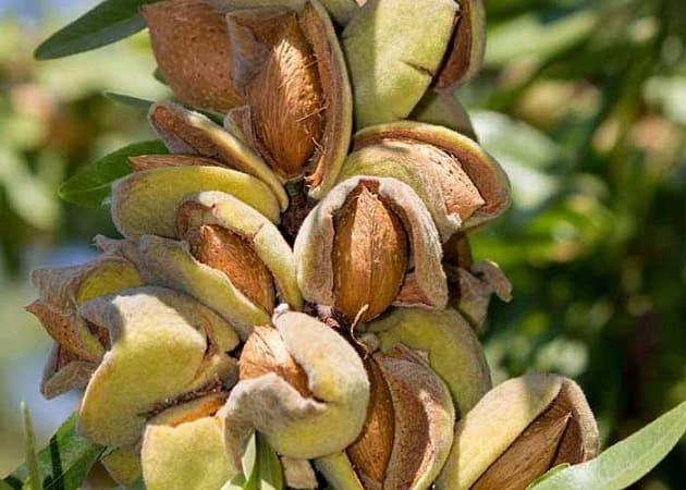 فروش عمده بادام تلخ کردستان