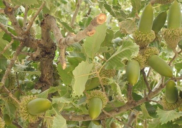 خواص درمانی میوه بلوط کردستان