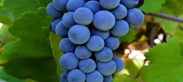 خواص انگور سیاه: 20 فایده شگفت انگیز انگور سیاه برای سلامتی